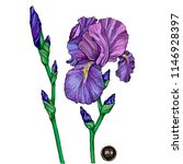 summer garden iris flowers ... | Shutterstock .eps vector #1146928397