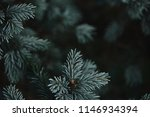 Selective Focus Of White Pine...