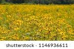 a field of yellow ox eyed... | Shutterstock . vector #1146936611