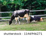 black and white cows on the... | Shutterstock . vector #1146946271