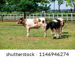 cows graze on the ranch.... | Shutterstock . vector #1146946274