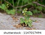 wild strawberries. slovakia | Shutterstock . vector #1147017494