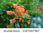 bougainvillea flower in garden  ...   Shutterstock . vector #1147047587