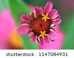 Zinnia elegans flower  common...