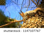 Stock photo squirrel on tree cute squirrel on tree squirrel on tre look down 1147107767