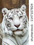 Small photo of White tiger portrait. White tiger eyes looking. White tiger face poster