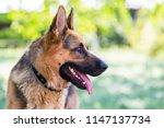 german shepherd in profile with ... | Shutterstock . vector #1147137734