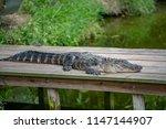 Alligator Lying On Wooden Dock