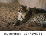 cheetah is a large cat of the... | Shutterstock . vector #1147198751