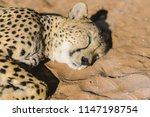 cheetah is a large cat of the... | Shutterstock . vector #1147198754