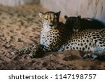 cheetah is a large cat of the... | Shutterstock . vector #1147198757