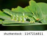 image of caterpillar of common... | Shutterstock . vector #1147216811