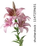 lilies close up isolated | Shutterstock . vector #1147259651