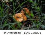 orange and white mushrooms in... | Shutterstock . vector #1147260071