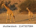 female and young south african... | Shutterstock . vector #1147337084