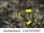 yellow flowers of the... | Shutterstock . vector #1147372547