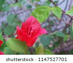 bougainvillea nyctaginaceae it... | Shutterstock . vector #1147527701