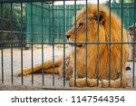 a lion lies in the cage. the...   Shutterstock . vector #1147544354