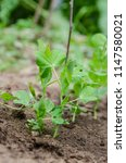 young green pea plant in the... | Shutterstock . vector #1147580021