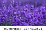lavender flowers field  | Shutterstock . vector #1147613621