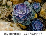 a growing greenery cactus or... | Shutterstock . vector #1147634447