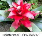 close up red bromeliad  ...   Shutterstock . vector #1147650947
