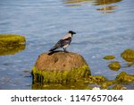 a black crow sitting and... | Shutterstock . vector #1147657064