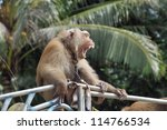 Monkey Macaque Coconut Agape On ...