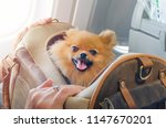 small dog pomaranian spitz in a ... | Shutterstock . vector #1147670201