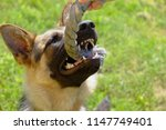 german shepherd pulls for a... | Shutterstock . vector #1147749401