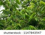 nephelium lappaceum l.rambutan... | Shutterstock . vector #1147843547