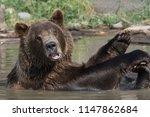 Alaskan Grizzly Bear  Brown...