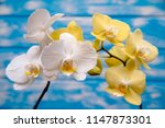 white and yellow orchids on... | Shutterstock . vector #1147873301