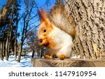 Stock photo squirell eat nut on tree stump in forest squirrel portrait in winter park forest cute squirrel 1147910954