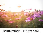cosmos flower closeup flowery... | Shutterstock . vector #1147955561