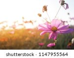 cosmos flower closeup flowery... | Shutterstock . vector #1147955564