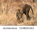 tiger t60 cub closeup shot at ... | Shutterstock . vector #1148031461