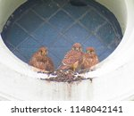 young common kestrel  falco... | Shutterstock . vector #1148042141