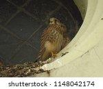 young common kestrel  falco... | Shutterstock . vector #1148042174