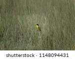 the western yellow wagtail ... | Shutterstock . vector #1148094431