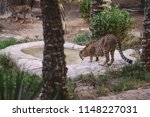 cheetah is a large cat of the... | Shutterstock . vector #1148227031