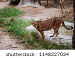 cheetah is a large cat of the... | Shutterstock . vector #1148227034