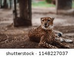 cheetah is a large cat of the... | Shutterstock . vector #1148227037