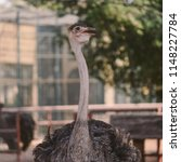 common ostrich is either of two ... | Shutterstock . vector #1148227784