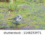 white wagtail or motacilla alba.... | Shutterstock . vector #1148253971