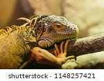 green iguana  also known as the ...   Shutterstock . vector #1148257421