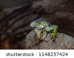 green iguana  also known as the ...   Shutterstock . vector #1148257424