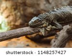 green iguana  also known as the ...   Shutterstock . vector #1148257427