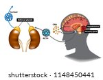 hypothalamic pituitary adrenal  ... | Shutterstock .eps vector #1148450441