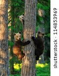 Bear Cubs On A Tree. Three...